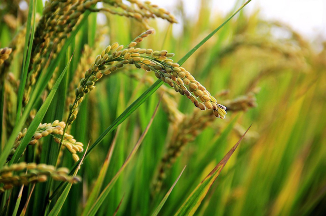 Haiti-Taiwan: Près de 3 millions pour augmenter la production de semences de riz