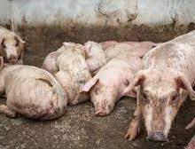 Les viandes de porcs et ses produits dérivés en provenance de la RD interdits en Haïti